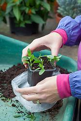 Taking salvia cuttings - putting cuttings into plastic bag