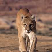 Mountain Lion (Felis concolor) In the canyonlands of southern Utah. Captive Animal