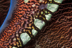Close up of a Pharaoh Cuttlefish, Sepia pharaonis, showing the wide range of colors and patterns these animals can create by expanding or contracting pigment cells known as chromatophores. Andaman Sea.