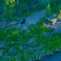 A bull moose (Alces alces) runs through a cottownwood grove beside the Jefferson River near Willow Creek, Montana.