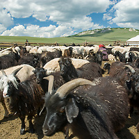 """Sheep & goats crowd a  corral beside a felt-lined """"ger"""" (yurt) in a remote valley north of Muren, in Mongolia's Hovsgol district."""