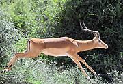 An impala runs through dry scrub. Sinya Wildlife Management Area, Tanzania.