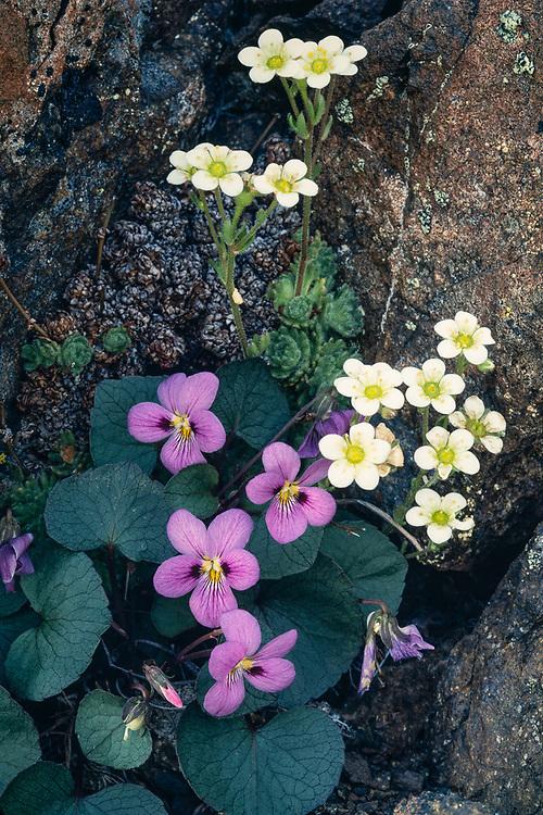 Flett violet (Viola flettii), endemic to the Olympic Mountains, and alpine saxifrage (Micranthes tolmiei), Blue Mountain, Olympic National Park, Washington, USA