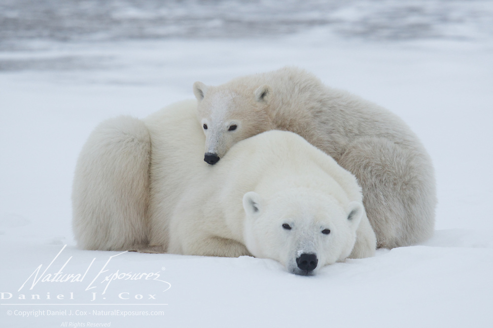 Mother polar bear and her cub, Cape Churchill, Manitoba.