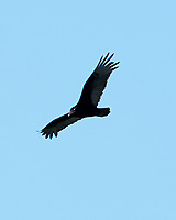 Turkey Vulture (Cathartes aura). Fort De Soto Park. Pinellas County, Florida. Image taken with a Nikon D700 camera and 300 mm f/2.8 VR lens and 2.0x TC-E teleconverter.