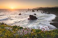 Wildflowers on bluff edge at sunset, Sonoma Coast State Park, California
