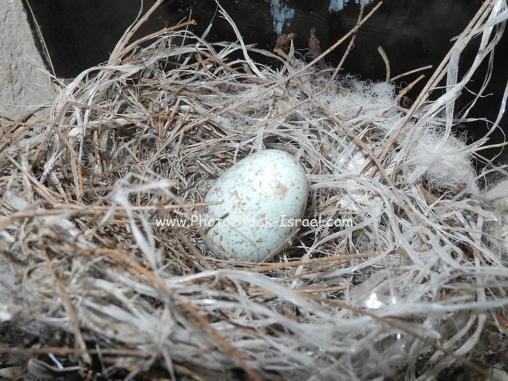 Bird's Egg in a nest