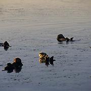 Sea Otter, (Enhydra lutris) Swimming in Monterey Bay. California.