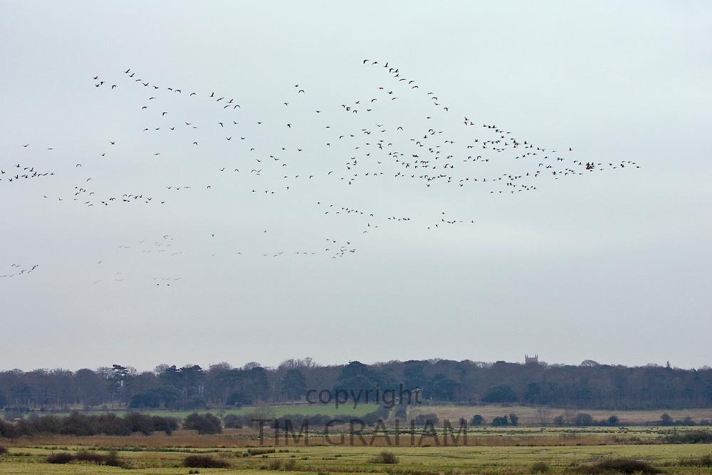 Migration of Pink-footed Geese, Holkham, Norfolk. Migrating birds could risk Avian Flu (Bird Flu Virus)