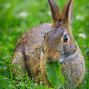 Eastern cottontail wild rabbit eating greens. Winner in Nature's Best Backyards 2015 international competition by Nature's Best Photography magazine, published in the spring/summer 2016 issue.