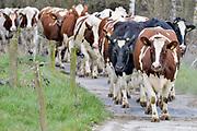 Nederland, Overasselt, 1-10-2019De koeien lopen over een pad naar de wei .  FOTO: FLIP FRANSSEN