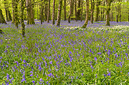 Blue bell and wild mustard in Cornwall woodland.