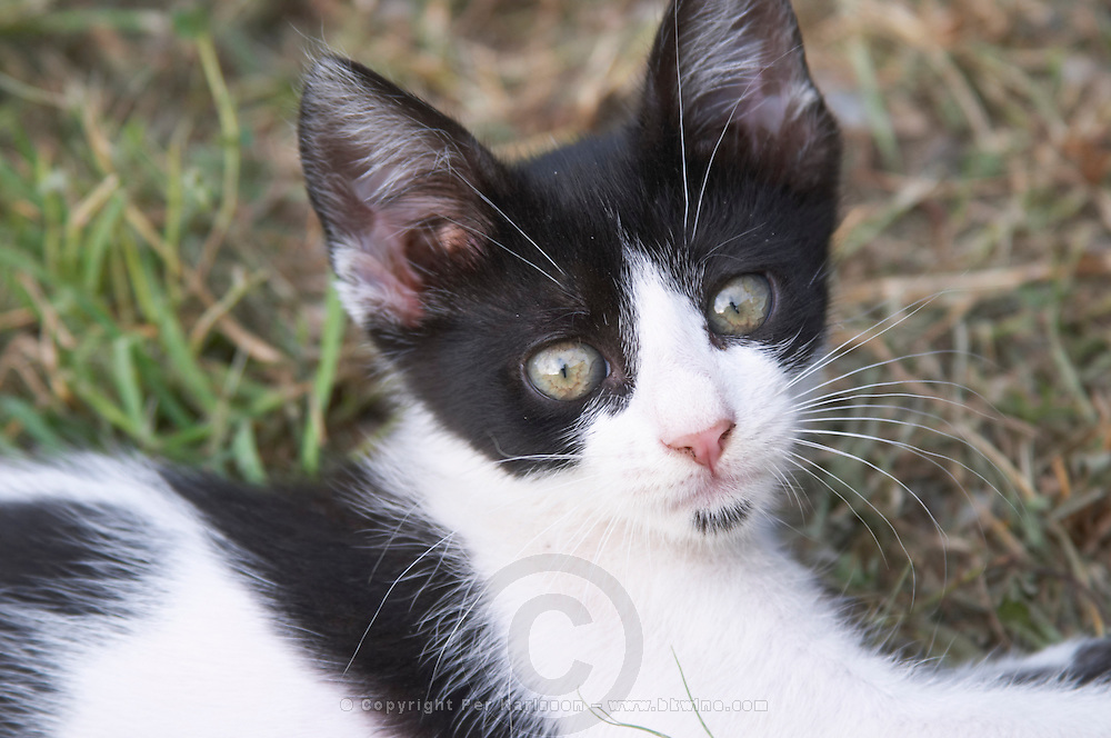 A small black and white cat kitten in the garden. Durovic Jovo Winery, Dupilo village, wine region south of Podgorica. Vukovici Durovic Jovo Winery near Dupilo. Montenegro, Balkan, Europe.
