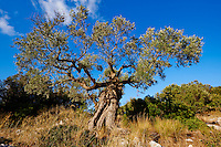 Grece, iles Ioniennes, ile de Zante, olivier // Greece, Ionian island, Zante island, olive tree