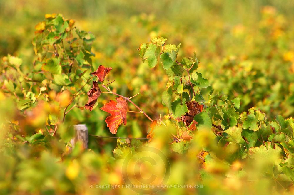 A syrah vine with autumn red and yellow leaves. Domaine la Monardiere Monardière, Vacqueyras, Vaucluse, Provence, France, Europe