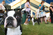 A Boston Terrier at the CAKC Charlottesville-Albermarle Kennel Club at foxfield track. 06/04/2011.