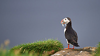 Atlantic Puffin (Fratercula arctica). Image taken with a Nikon D4 camera and 80-400 mm VR lens.