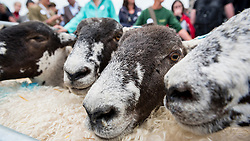 © Licensed to London News Pictures. 25/09/2016. London, UK. The annual Sheep Drive by the Worshipful Company of Woolmen takes place across London Bridge.  The event raises funds for the Lord Mayor's Appeal and the Woolmen's Charitable Trust. Photo credit : Stephen Chung/LNP