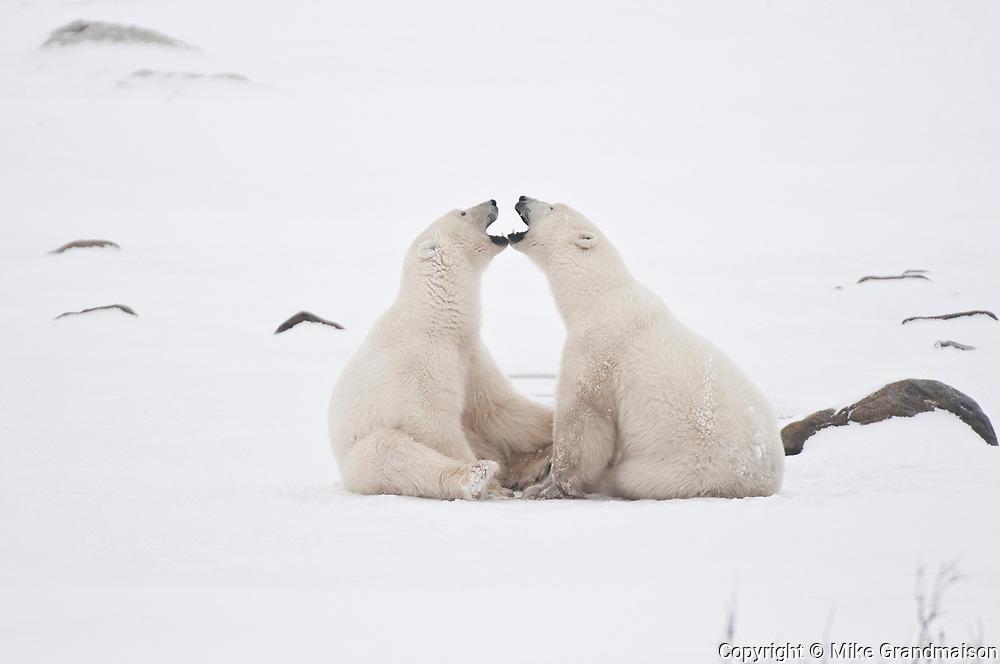 Polar bears sparring Ursus maritimus on frozen tundra<br />Churchill<br />Manitoba<br />Canada