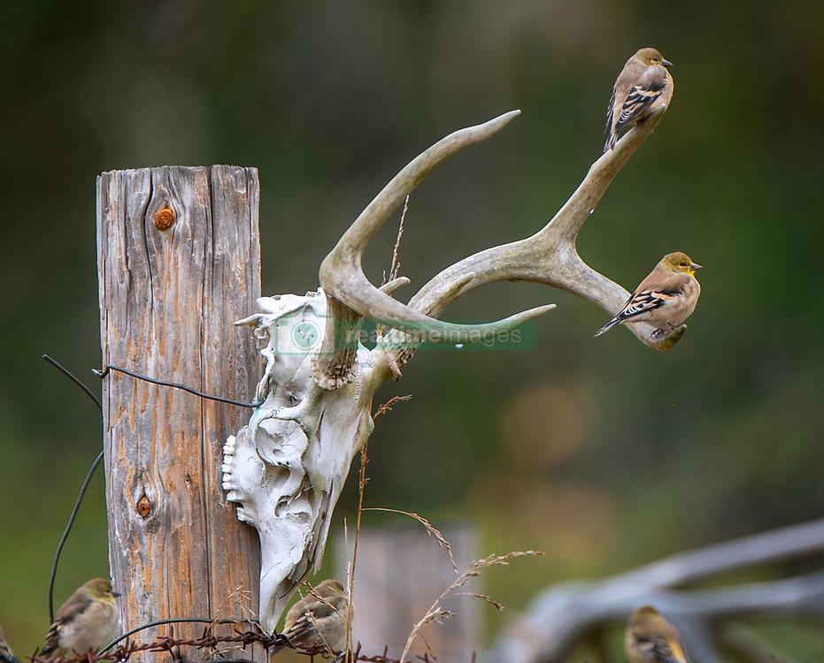 October 5, 2018 - Roseburg, OREGON, U.S - On a rainy day, sparrows perch on a deer skull marking a fence on a farm near Roseburg in western Oregon. (Credit Image: © Robin Loznak/ZUMA Wire)