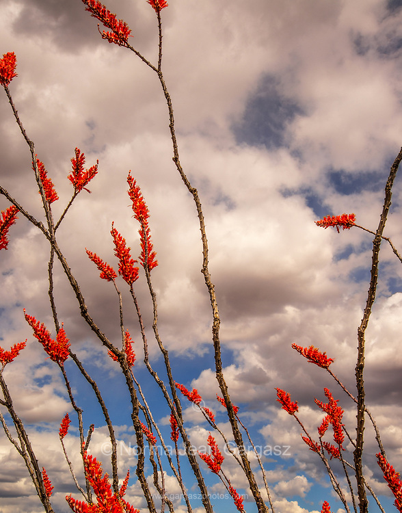 The Santa Rita Mountains are seen through ocotillo, (Fouquieria splendens), in bloom in in April, Sonoran Desert, west of Tubac, Arizona, USA.