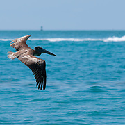 Pelican flying over the ocean near Key West, Fl