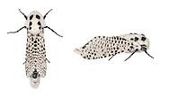 Leopard Moth - Zeuzera pyrina<br /> 50.002 BF161