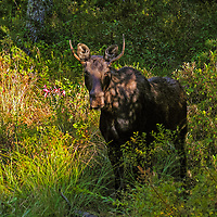 A young bull moose in the fall in New Hampshire. <br /> Use with permission only. Downloading, copying and using images without permission is a violation of Copyright.