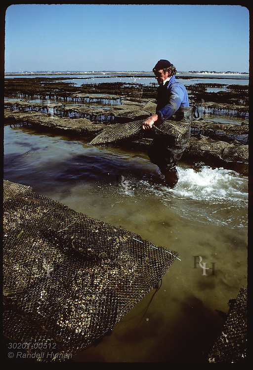 Oysterman races against tide, tending sacks of Japanese oyster on mud flats of Quiberon Bay. France