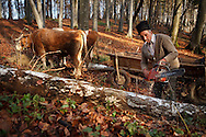 Rural Romanian man cutting wood in a forest with a petrol powered chain saw. Rural Transylvania