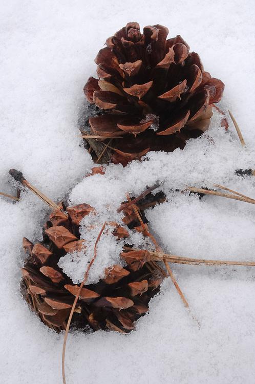 Ponderosa pine cones and needles (Pinus ponderosa), April, eastern Cascade Mountain Range, LaPine State Park near Bend, Oregon