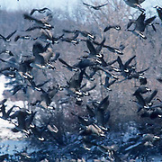 Canada Goose, (Branta canadensis) Birds take off from lake to return to fields to feed. Winter. Minnesota.