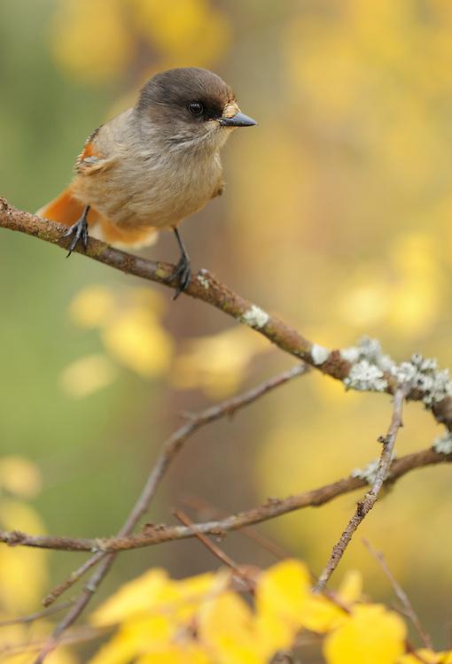 Siberian jay, Corvus infaustus, Oulanka, Finland.