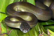 Papuan python Snake, Apodora papuana, New Guinea nocturnal,  ability to change color, curled on palm leaf
