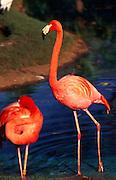 Pink Flamingoes<br />