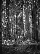 Redwoods in Hendy Woods State Park , Mendocino, CA.