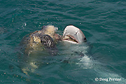 tiger shark, Galeocerdo cuvier, scavenging carcass of green sea turtle, Chelonia mydas, killed by native Torres Strait hunters, Mabuiag Island, Torres Straits, Queensland, Australia