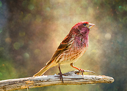 A Male Purple Finch Sits On His Perch Soaking Up Some Afternoon Warmth