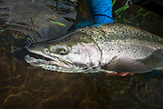 A fresh steelhead with sealice still attached comes to net. Good day.