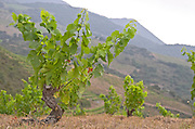 Goblet pruned vines in the vineyard. Domaine Matassa, Calces, Roussillon, France