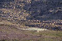 GUANACO (Lama guanicoe) PASTANDO, PARQUE NACIONAL LIHUE CALEL, PROV. DE LA PAMPA, ARGENTINA