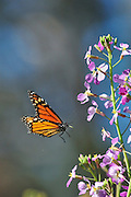 Monarch butterfly (Danaus plexippus) flying.