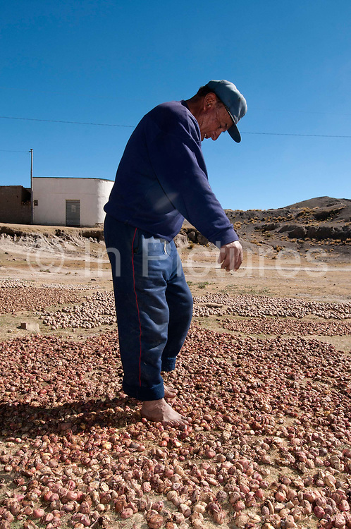 Bolivia,  June 2013. Choritotoro. Angel treading on chunos, part of the process of preserving these potatoes.