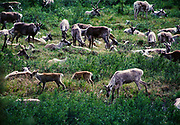 Cows and calves of the Mulchatna Caribou Herd in willow and dwarf birch tundra, mid-June, Lower Twin Lake, Lake Clark National Park, Alaska.