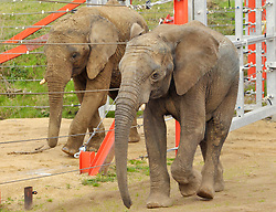 © Licensed to London News Pictures; 23/06/2021; Wraxall, North Somerset, UK. FILE PICTURE dated 10/11/2014 of a male African bull elephant named M'CHANGA (right), then aged 6, at Noah's Ark Zoo Farm. The zoo announced yesterday that they have launched an investigation after M'Changa now aged 12 was killed last week after an incident with another bull elephant. The zoo says that the incident occurred in the early hours of Friday 18/06/2021 when another bull elephant went into the area where M'Changa was asleep and an attack followed that left M'Changa with fatal injuries. The other two bull elephants at the zoo, Shaka and Janu, were unharmed. The zoo has launched an  investigation into the incident and is reviewing the future of their elephant programme. The announcement of M'Changa's death comes a day after news that new laws could stop new elephants from being brought to UK zoos and safari parks in future. The Government is to receive a report on the welfare of elephants in captivity which is believed to advise against keeping elephants in zoos as it causes them mental illness and other physical issues such as arthritis and the spaces in which they are kept are too small. New laws may say that as captive elephants die out they cannot be replaced. Noah's Ark Zoo Farm has one of the largest elephant facilities in the UK and Europe and their Elephant Eden area has been commended for best practice with specialist elephant keepers, 20 acres of space to roam and extensive efforts made for enrichment and sustaining healthy and active elephants who play an important role as a male population that can be moved to other zoos as breeding bulls to contribute to breeding programmes. Photo credit: Simon Chapman/LNP.