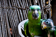 A boy peers out from his hut at two poached parrots in the Mayan Biosphere.
