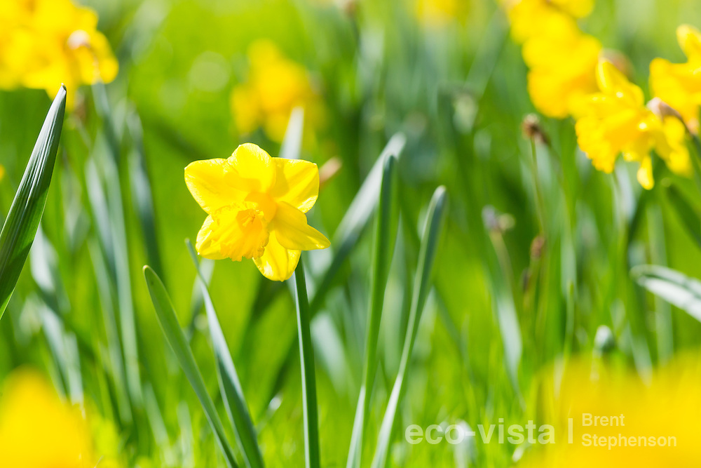 Daffodils (Narcissus sp.) in full flower during a sunny spring day in Nelson. Nelson, South Island, New Zealand. September.