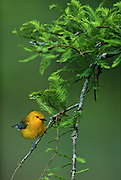 Prothonotary Warbler in Cypress Tree - Mississippi.
