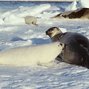 Harp Seal pup nursing on its mother's rich milk during the spring. The pup will grow four pounds daily. Canada