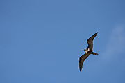 Lesser frigatebird (Fregata ariel) in flight against blue sky on Aride, Island, Seychelles in September